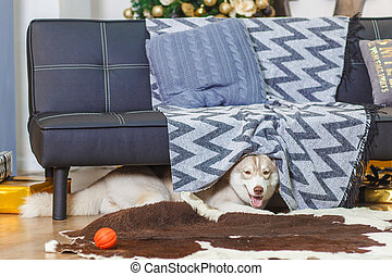 Lazy Siberian Husky in living room, smiling, fluffy