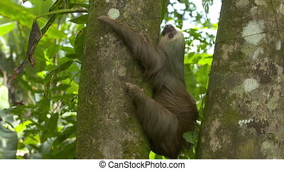 Lazy Sloth Hugging Jungle Tree Trunk, Costa Rica - Close-up...