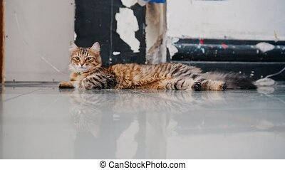 Lazy striped cat lounging on the floor in studio lying down,...