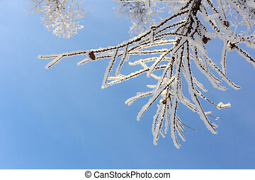 lbranches of larch in hoarfrost