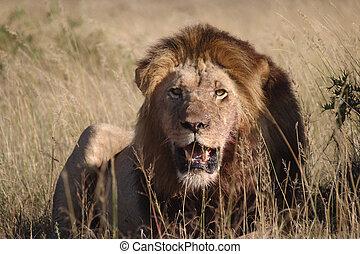 leão, calor, arquejar