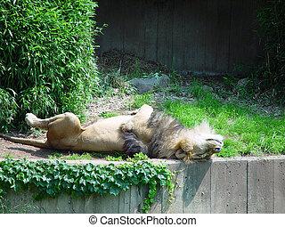 leão, cochilando, costas