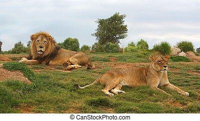 leão, e, leoa