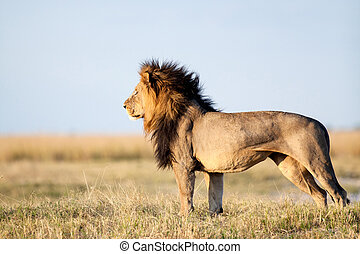 leão, em, africano, savanna