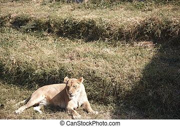 leão, em, fauna