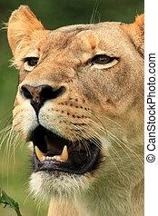 leão, -, fauna, africano