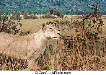 leão feminino, stalking, em, gramado