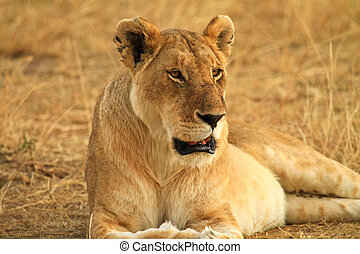 leão, ligado, gramado, em, kenya