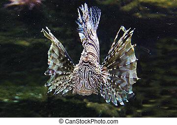 leão, lionfish, japoneses, peixe