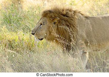 leão masculino, andar, em, a, gramado