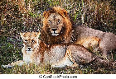 leão masculino, e, leão feminino, -, um, par, ligado, savanna., safari, em, serengeti, tanzânia, áfrica