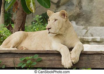 león, acostado, albino