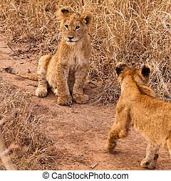 león bebé, pasto o césped, sentado