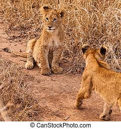 león bebé, sentado, en, el, pasto o césped