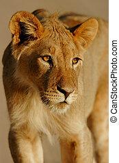 león, joven