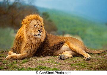 león, macho, tener un descanso, acostado, en, el, montaña