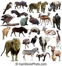 león macho, y, otro, africano, animals., aislado, blanco
