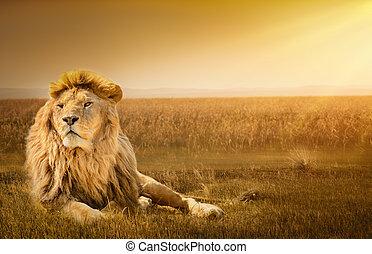 león, pasto o césped, macho, acostado