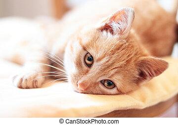 ležící, pobídka, poduška, up, názor, kotě, šikovný, uzavřít