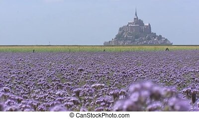 Le Mont Saint-Michel behind Phacelia field + pan