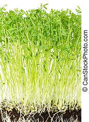 Le Puy green lentil seedlings front view