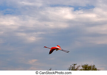 Leader - Flying flamingo in Kamarg preserve on Mediterranean...
