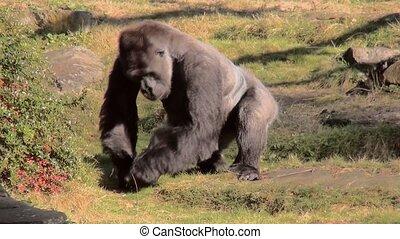 Leader of the Gorilla group eat fruit. - Lowland Gorilla...