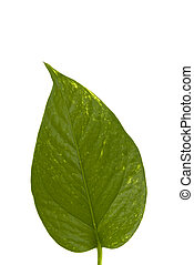 Leaf - A green leaf isolated on white background