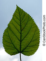 Leaf against the sky