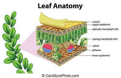 Leaf anatomy - Illustration of a leaf anatomy on a white...
