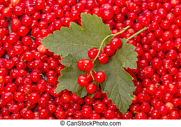 Leaf and berry red currant