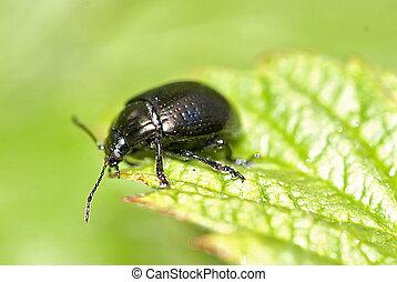 Leaf Beetle (chrysolina globosa)