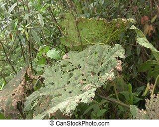 Leaf beetles (Chrysomelidae) - defoilating a Gunnera plant....