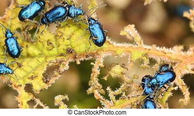 Leaf beetles on Gunnera