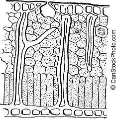 Leaf Blade Cross-section, vintage engraving