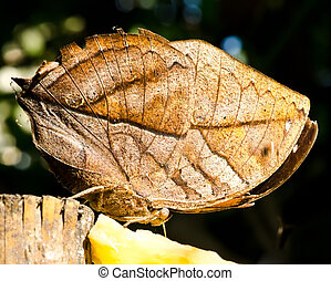 leaf butterfly (Kallima inachus) in Thailand
