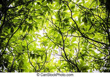 leaf canopy  - leaf canopy