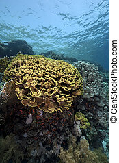 leaf coral in the Red Sea