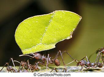 Leaf cutter ant - In the rainforest understory, Ecuador