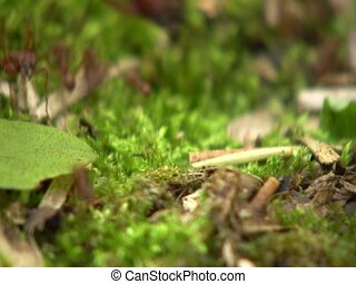 Leaf cutter ants (Atta sp.) - carrying cut leaves to their...