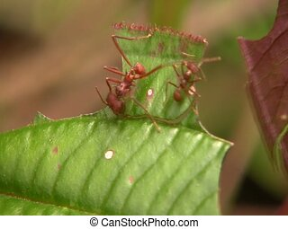 Leaf cutter ants (Atta sp.) - Cutting leaves in the forest...