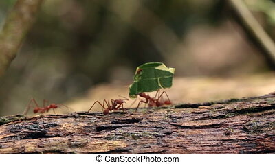 Leaf cutter ants (Atta sp.)