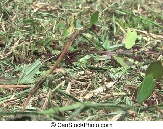 Leaf cutter ants in the Amazon Rainforest