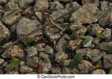 Leaf Cutting ants collect stock, leaf fragments for mushroom...