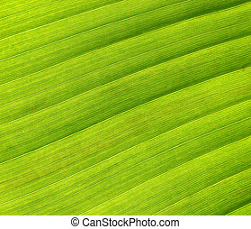 Detail in banana palm tree leaf