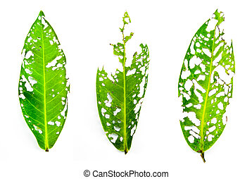 Leaf eating insect