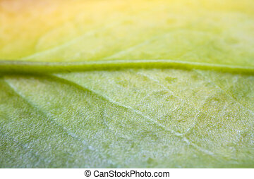 leaf., estremo, zamiifolia), albero soldi, pianta, (zamioculcas, primo piano