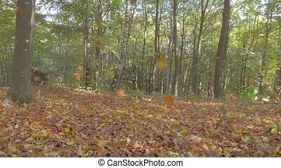 Leaf fall in the autumn forest