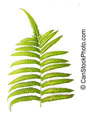 Leaf ferns isolated on white background