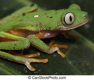 Leaf Frog (Agalychnis hulli) - Formerly known as Hylomantis...